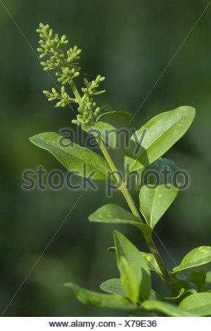 wild privet, ligustrum vulgare - Stock Photo