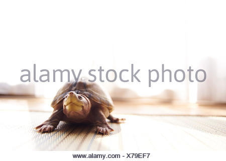 Turtle On Floor At Home - Stock Photo