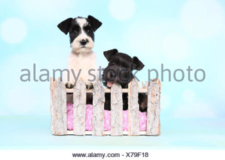 Parti-colored Miniature Schnauzer und black Miniature Schnauzer. Two puppies sitting behind a fence seen against a light blue background. Germany ini Lop sitting in a basket in a garden. Germany - Stock Photo