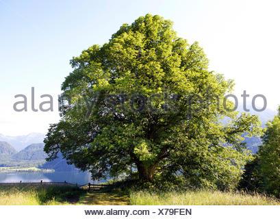 Lime or Large-leaved Lime (Tilia platyphyllos) on a summer meadow, Mondseeland region, Mondsee lake, Salzkammergut - Stock Photo