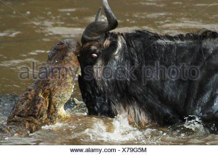 Nile crocodile (Crocodylus niloticus), cocodile attacking wildebeest, eyeball to eyeball with each other, Mara River , Kenya, Masai Mara National Park - Stock Photo