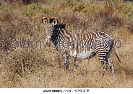 Grevy's Zebra (equus grevyi), Samburu National Reserve, Kenya, Africa - Stock Photo