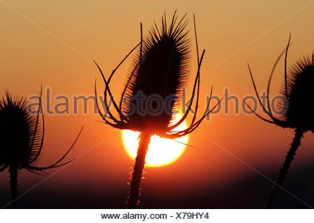 wild teasel, Fuller's teasel, common teasel, common teazle (Dipsacus fullonum, Dipsacus sylvestris), inflorescences in sunset, Germany - Stock Photo