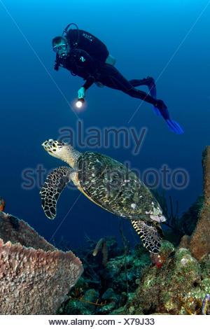 Scuba Diver and Hawksbill Sea Turtle, Eretmochelys imbricata, Caribbean Sea, Barbados - Stock Photo