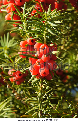 Taxus baccata, Eibe, yew - Stock Photo