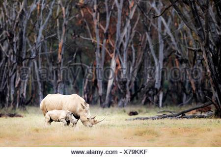 White rhino in Lake Nakuru National Park - Stock Photo
