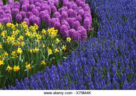 common garden tulip (Tulipa gesneriana), park with flowerbeds with garden tulips, common grape hyacinths, Muscari botryoides, a - Stock Photo