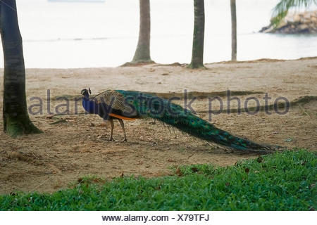 Peacock at Sentosa island, Singapore - Stock Photo