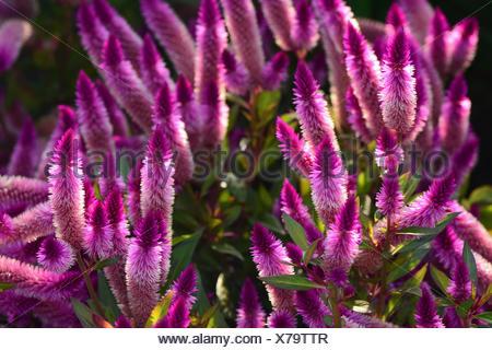 Plumed cockscomb, Celosia argentea, flowering in a garden. - Stock Photo