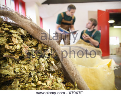 Workers select hops in brewery - Stock Photo
