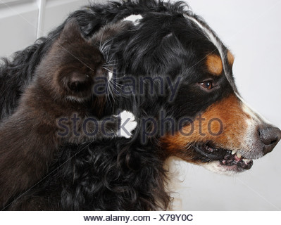 bernese mountain dog snarling at little kitten jumping on his head - Stock Photo