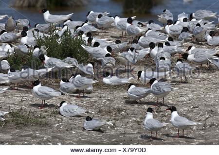 Colony of Mediterranean Gull - Stock Photo