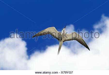 Sooty Tern, sterna fuscata, Adult in Flight, Australia - Stock Photo