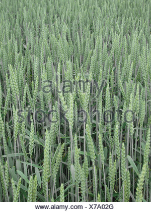 Detail of wheat growing in a field - Stock Photo
