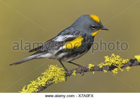 Male Yellow-rumped warbler (Dendroica coronata) on perch at Deschutes National Forest, Oregon, USA - Stock Photo