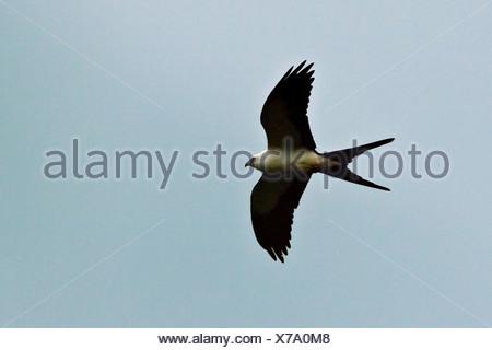 Swallow-tailed Kite (Elanoides forficatus) flying overhead in the Tandayapa Valley in northwest Ecuador. - Stock Photo