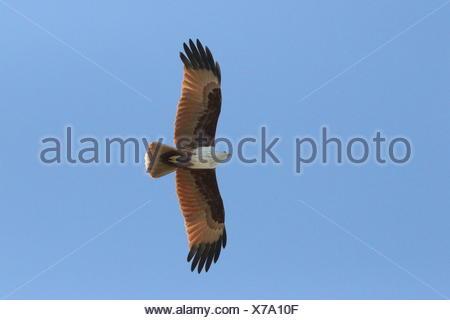 A Brahminy kite, Haliastur indus, in flight. - Stock Photo