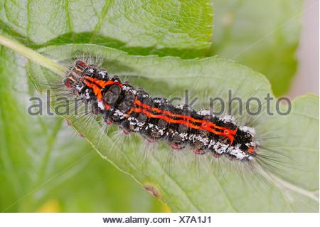 Caterpillar, Yellow-tail or Swan Moth (Euproctis similis), North Rhine-Westphalia, Germany - Stock Photo