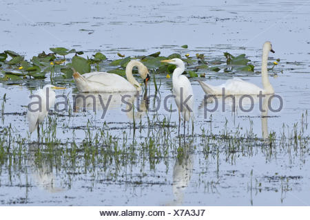 Mute swan and Great egret - Stock Photo