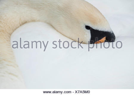 mute swan (Cygnus olor), head in its plumage, Germany - Stock Photo