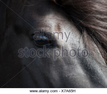 Icelandic Black Stallion, Iceland - Stock Photo