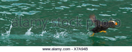 A tufted puffin runs on water during take off. - Stock Photo