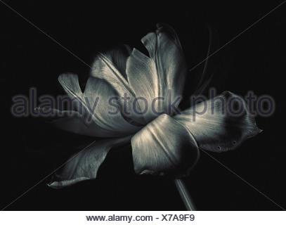 Tulipa Cultivar, Tulip flower, Black & white, Black background. - Stock Photo
