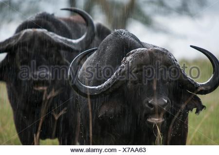 Two cape buffalo standing in rain, Lake Nakuru, Kenya - Stock Photo