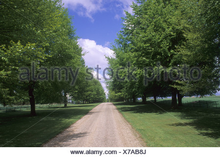 Chequers Victory Drive beech tree avenue planted by Sir Winston Churchill Buckinghamshire - Stock Photo
