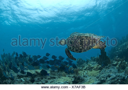 Hawksbill Turtle (Eretmochelys imbricata) adult, swimming with fish school, Molasses Reef, Key Largo, Florida Keys, Florida, - Stock Photo