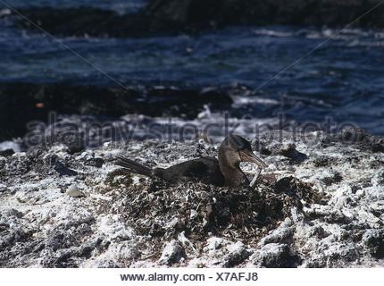zoology / animals, avian / birds, Flightless Cormorant, (Phalacrocorax harrisi), breeding in nest, distribution: Galapagos Islan - Stock Photo