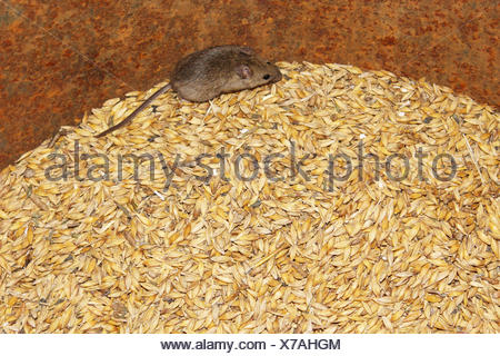 little grey mouse running on the wheat in the pantry - Stock Photo