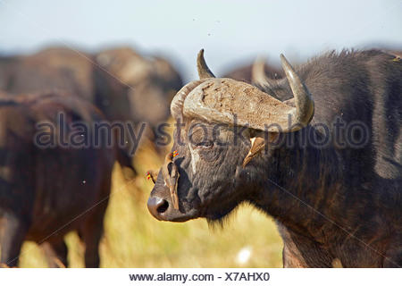 Red-billed Oxpecker (Buphagus erythrorhynchus), with Cape Buffalo, Kenya, Masai Mara National Park - Stock Photo