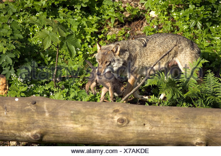Eurasian Wolf Canis lupus Animal Animals young offspring cub mother adult carry carrying - Stock Photo
