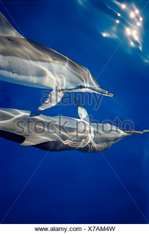 Hawaiian spinner dolphins, Stenella longirostris longirostris, communicating with pectoral fins while bow-riding - Stock Photo