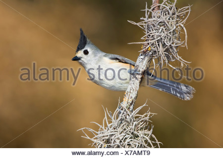 Black-crested titmouse (Baeolophus atricristatus) perched on a branch in the Rio Grande Valley in Texas, USA - Stock Photo