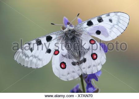 Apollo or Mountain Apollo (Parnassius apollo), Tyrol, Austria, Europe - Stock Photo
