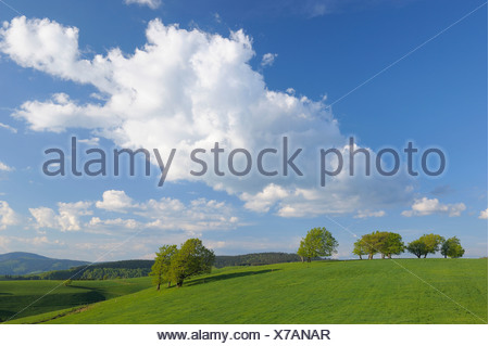 common beech (Fagus sylvatica), beeches in a meadows in spring, Germany, Baden-Wuerttemberg, Black Forest, Schauinsland - Stock Photo