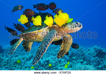 Green Sea Turtle being cleaned by tropical reef fish - Stock Photo