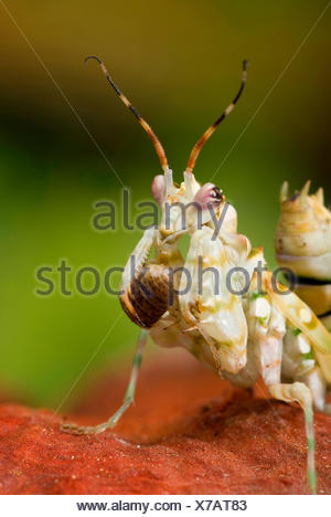 Ocellated Spiny Flower Mantis (Pseudocreobotra ocellata), portrait - Stock Photo