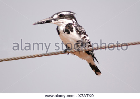 lesser pied kingfisher (Ceryle rudis), sittin on a wire, India, Keoladeo Ghana National Park - Stock Photo