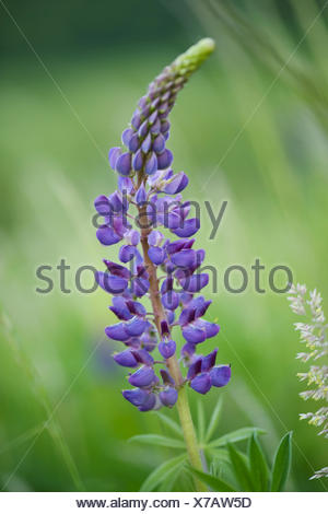 large-leaved lupine, lupinus polyphyllus - Stock Photo