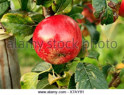 Apple 'Laxton's Fortune', malus domestica, apples variety varieties growing on tree Norfolk England UK - Stock Photo
