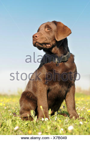 pet brown brownish brunette dog puppy dessert chocolate garden animal field portrait small tiny little short one cub baby put - Stock Photo