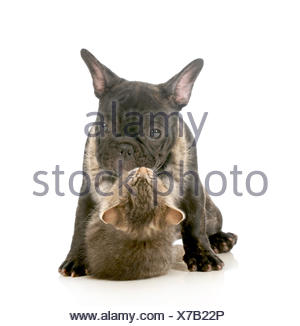 puppy love - kitten with arms wrapped around french bulldog puppy giving a hug isolated on white background - Stock Photo
