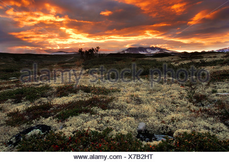Lichen landscape, Dovre Fjell National Park, Norway - Stock Photo