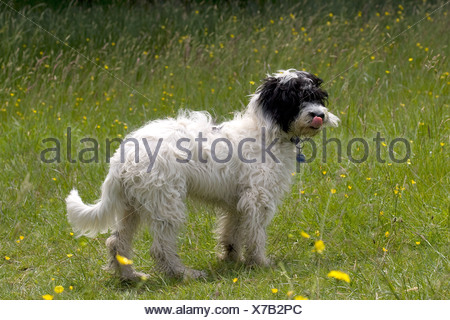 cockerpoo dog standing in spring meadow - Stock Photo