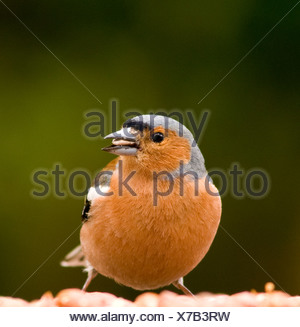A male chaffinch on a bird table - Stock Photo