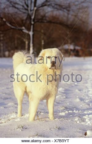 Polish Tatra Sheepdog in snow - Stock Photo