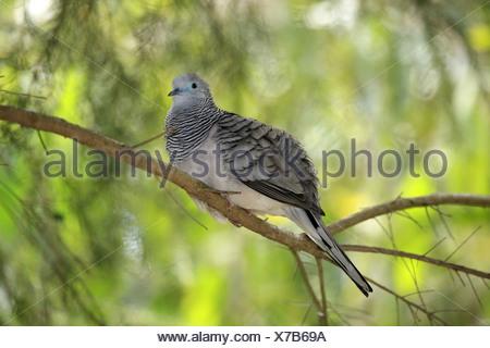 Peaceful Dove (Geopelia placida) adult, perched on branch, Australia - Stock Photo